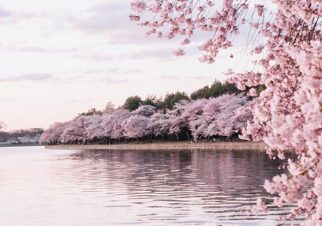 Cerisier Japonais à Bruxelles